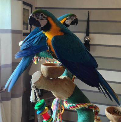 blue and gold macaw parrots store