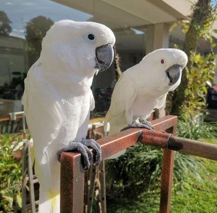 cockatoo parrots for sale