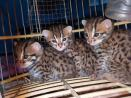 Buy your exotic cats, Bengal cats, African Serval cats, Savannah cats, Caracal and more