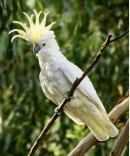 Birds for Sale - Eleanora Cockatoo (Sulfur Crested)