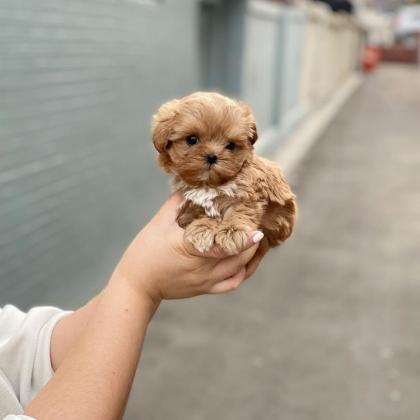 Maltipoo Puppies For Sell