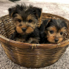charming  Yorkie Puppies for sale Text :(551) 888 -3483